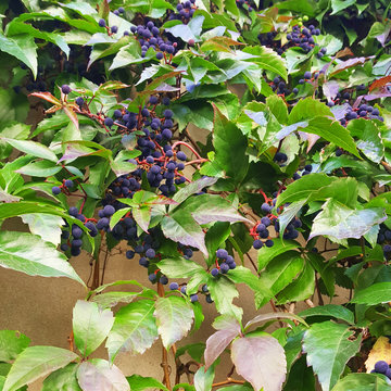 Dark blue berries and bright green leaves.