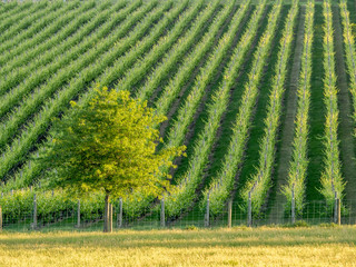 Tree on a Vineyard Boundary