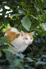 Cat ready to jump while in ambush in shrub