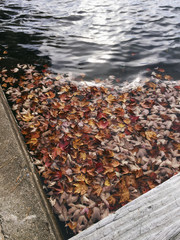 Fallen leaves floating on a lake in autumn