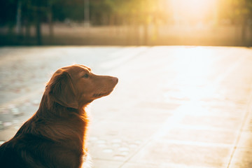 Silhouette of a red dog