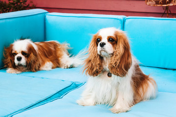Two Cavalier King Charles Spaniels sitting on sofa.