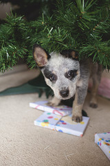 A young Blue Heeler puppy dog underneath the Christmas tree