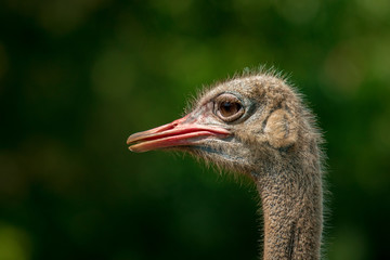 close up of ostrich head against green blur background