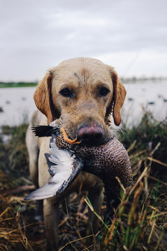 Portrait of a duck dog