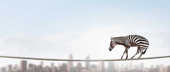 Zebra balancing on rope. Mixed media Wall mural
