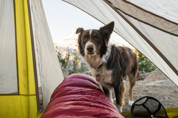 Dog standing at the opening of the tent at dawn.