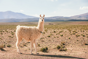 Lama standing on altiplano landscape looking at camera