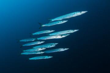 School of barracuda