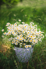 Freshly picked chamomile in bucket