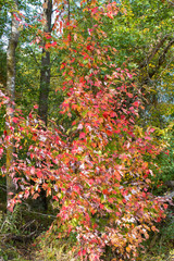 Fall colors of a maple tree in Necedah National Wildlife Refuge in Wisconsin