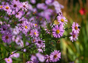 Pink fall flowers asters