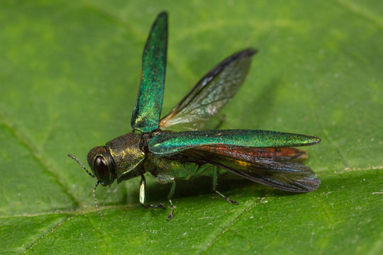 Emerald Ash Borer Spreading its Wings