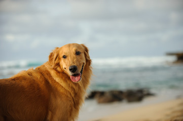 Golden Retriever dog outdoor portrait on sand beach looking back