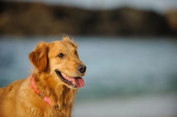 Golden Retriever dog outdoor portrait against blue water