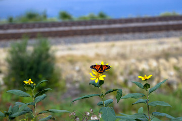 Monarch Butterfly on Tickseed Sunflower, alongside a railroad and the Great River Road in Wisconsin, on the banks of the Mississippi River