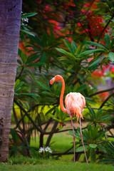 A pink Caribbean flamingo in the garden.