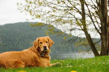 Golden Retriever dog outdoor portrait lying in lake park