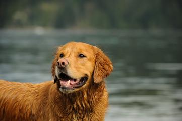 Golden Retriever dog outdoor portrait in water