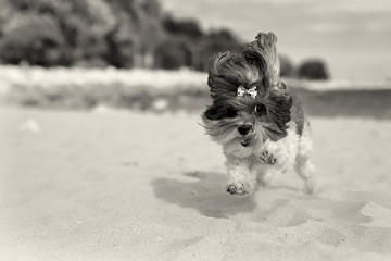 Cute Bichon Havanese dog running happilly on the beach. Sepia toned image, shallow depth of field, focus on the eye