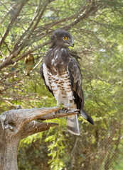 Short-toed snake eagle (Circaetus gallicus), also known as short-toed eagle