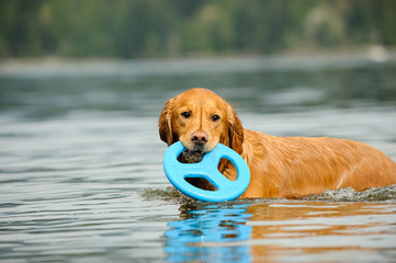 Golden Retriever dog outdoor portrait in water with blue toy