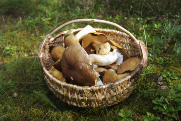 Boletus edulis (English: penny bun, cep, porcini) and Suillus variegatus (velvet bolete or variegated bolete) are in a wicker basket.