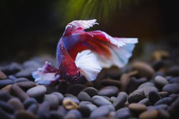 Big era  Siamese fighting fish