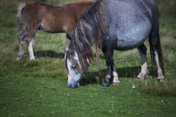 large pony eating