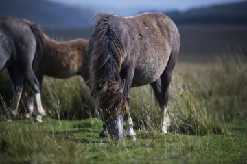 long haired celtic pony