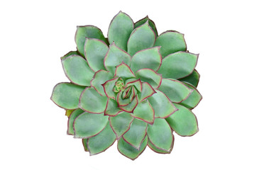Top view of red green flowering succulent plants