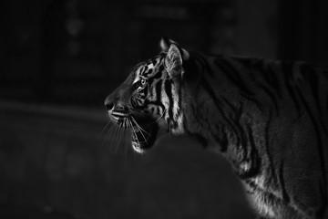 amazement tiger