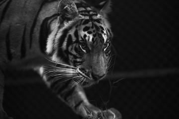 tiger prowl stare