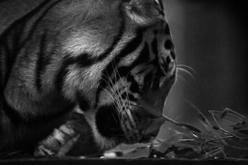 tiger side on