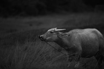 curious bull 2