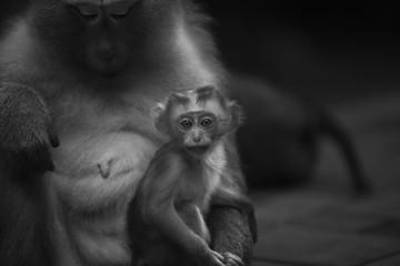 Monkeys of Monkey hill Thailand Phuket