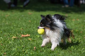 Fototapeta Chihuahua apportiert einen Ball