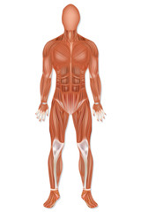 Man muscular system anterior view isolated. Human muscle anatomy.