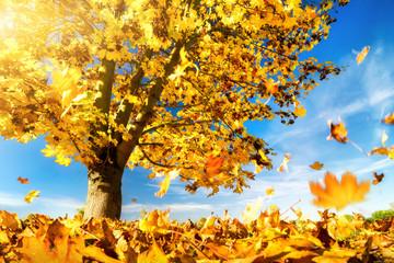 Gelbe Blätter fallen zu Boden, Ahornbaum an einem schönem Herbsttag