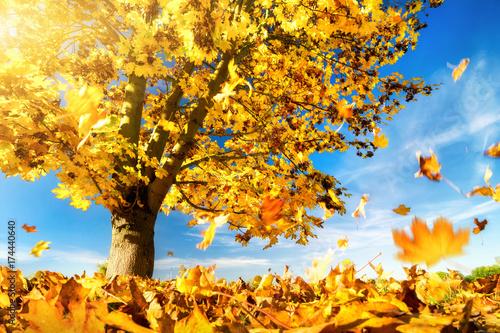 gelbe bl tter fallen zu boden ahornbaum an einem sch nem herbsttag stockfotos und lizenzfreie. Black Bedroom Furniture Sets. Home Design Ideas