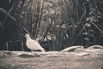 white pigeon in the park