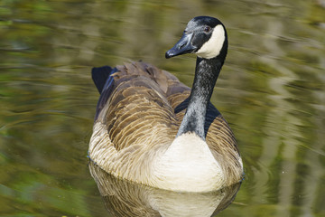 Canada Goose swimming in the lake