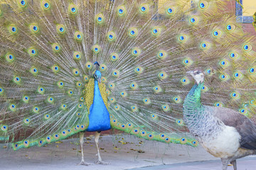 Beautiful peacock displaying his beautiful fan