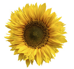 Yellow flower of a sunflower on an isolated white background with clipping path. Closeup. No shadows.  Nature.