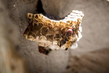 dancings big dangerous hornet and wasp