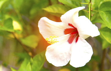 white hibiscus flower on a green background. In the tropical garden.