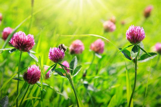 Bee on clover flowers field.