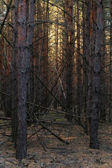 Pine forest in the autumn at sunset of the day.