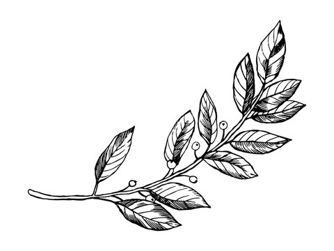 Laurel branch engraving vector illustration