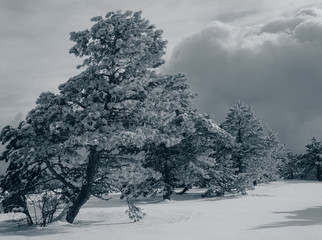Pine trees in a mountainous area covered with snow